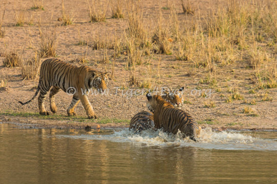 Tigress & 2 cubs playing in Tigers4Ever Waterhole