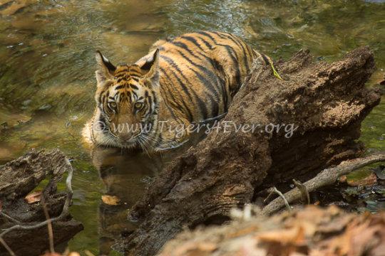Tiger cub in Tigers4Ever Waterhole