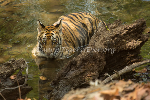 Tiger cub in Tigers4Ever Waterhole