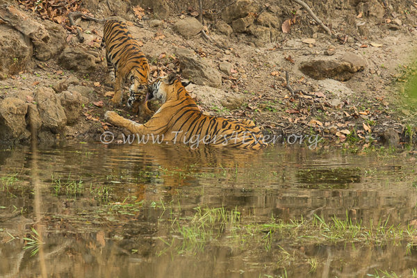 Affectionate moment between Tigress & her cub