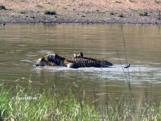 Wild Tigers need Tigers4Ever Waterholes like this