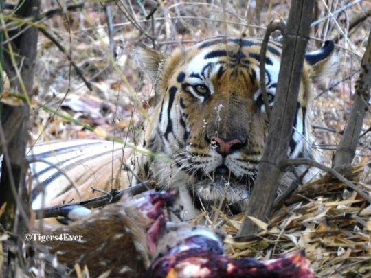 Tiger with face blackened by smoke from the fires