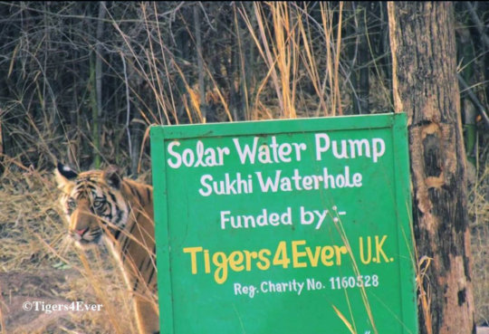 Tiger cub scent-marks Tigers4Ever Waterhole Sign