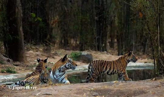 Tigress & young Cubs at A Tigers4Ever Waterhole