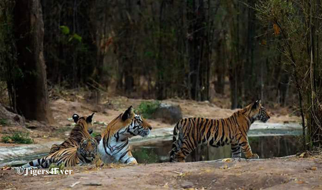 Tigress & young Cubs at A Tigers4Ever Waterhole