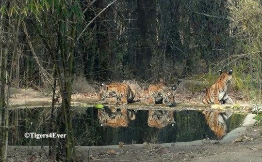 Tiger cubs at man-made waterhole