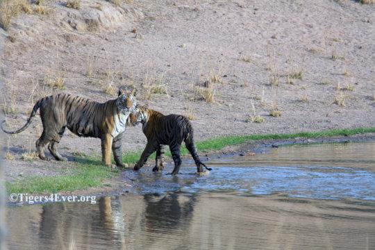 Tigress and Cub at Tigers4Ever Waterhole