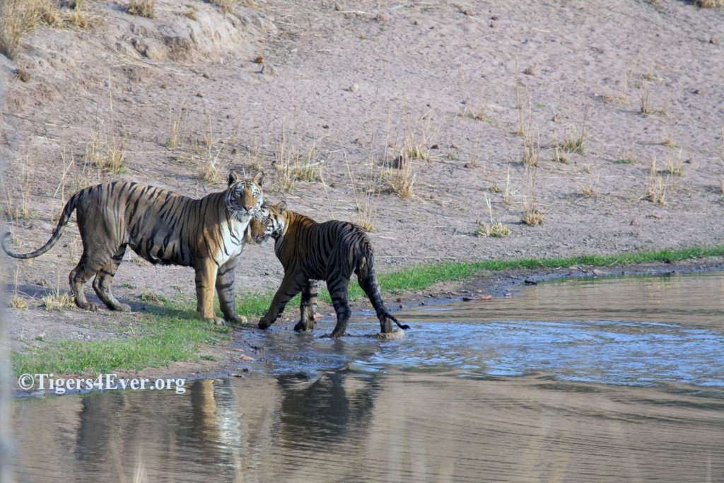 Tigress and Cub at Tigers4Ever Waterhole