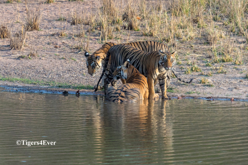 Water for Bandhavgarh's Tigers - Reducing Conflict