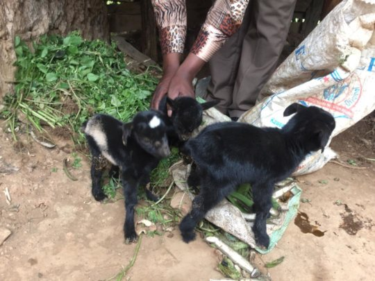 Goat Triplets Born in Our Women's Cooperative