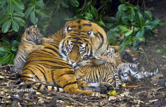 Tigress with 3 Tiny Cubs