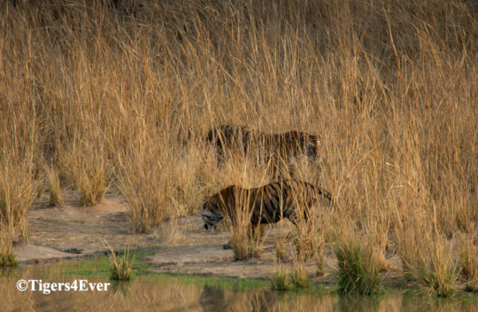 Tigers at Tigers4Ever funded natural Waterhole