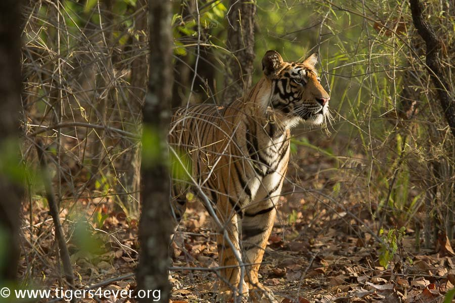 Young Male Tiger Cub finding his way