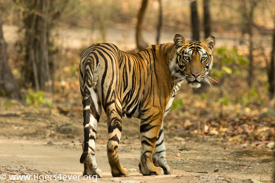 A Young Male Tiger in Bandhavgarh