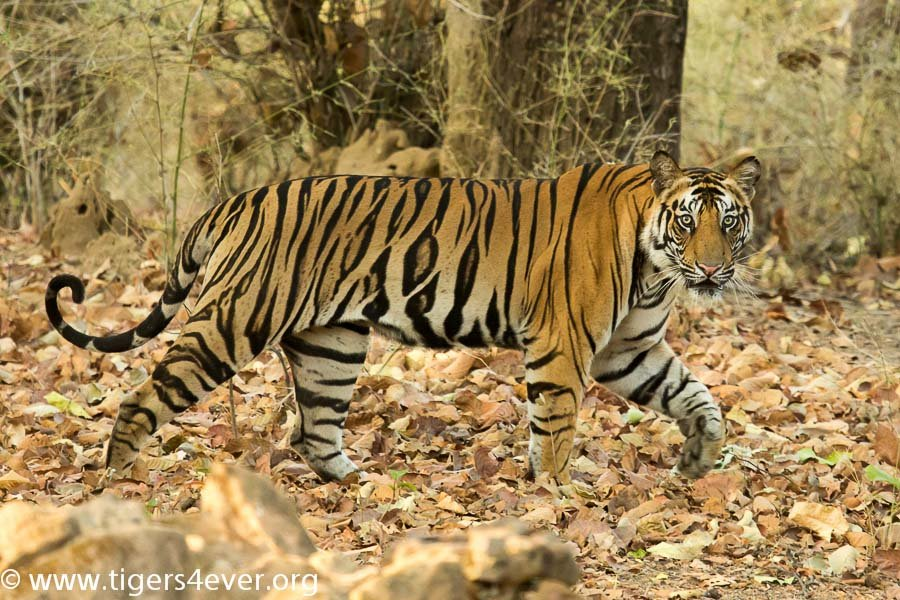 A watchful Tiger crosses the forest track
