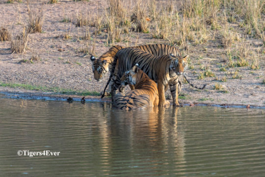 Tigress and Cubs at Tigers4Ever Waterhole