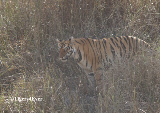It is harder to see wild tigers in the mist