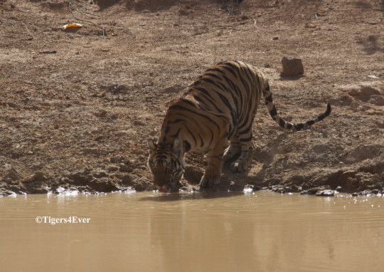 Tiger at the waterhole