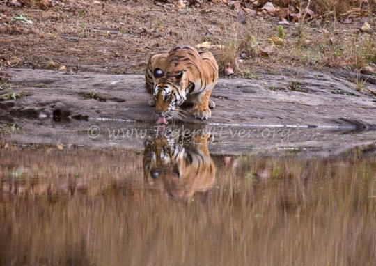 Patrols need to check tiger waterholes for snares