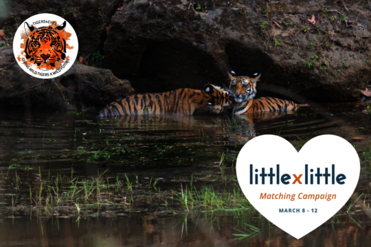 Little by Little Tiger Cubs