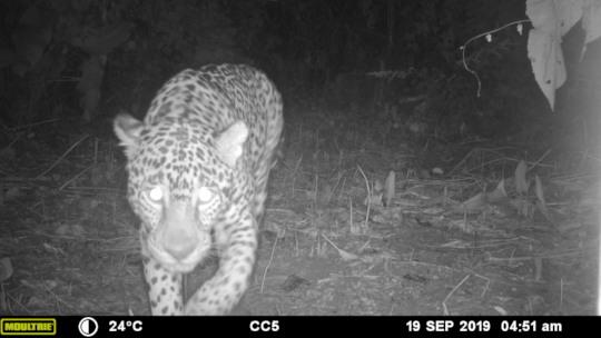 Jaguar - MMNFR Camera Trap, Ya'axche Science
