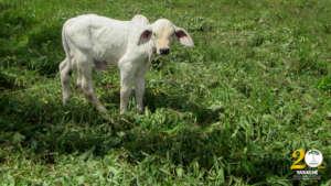 Calf on local farm.