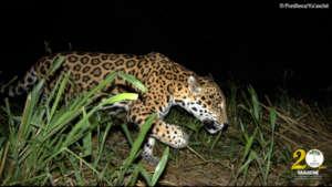Camera trap image of jaguar on local farm