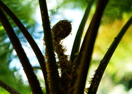 Great Forest Swamp Fern Bud