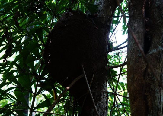 A terminte nest high up in the trees