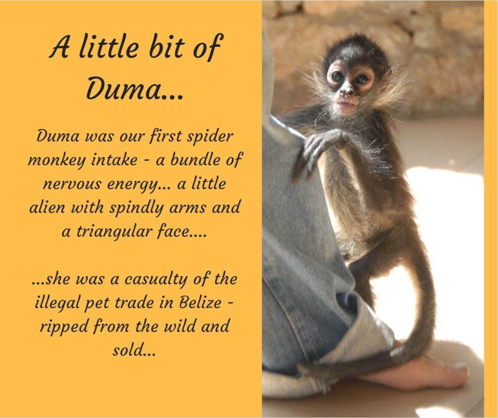 Humor Inspirational Quotes: Reports On Returning Spider Monkeys To Belize's Forests