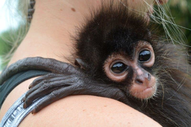 Critical social support for young spider monkey