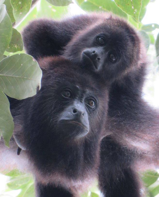 Success!  A wild-born howler monkey baby