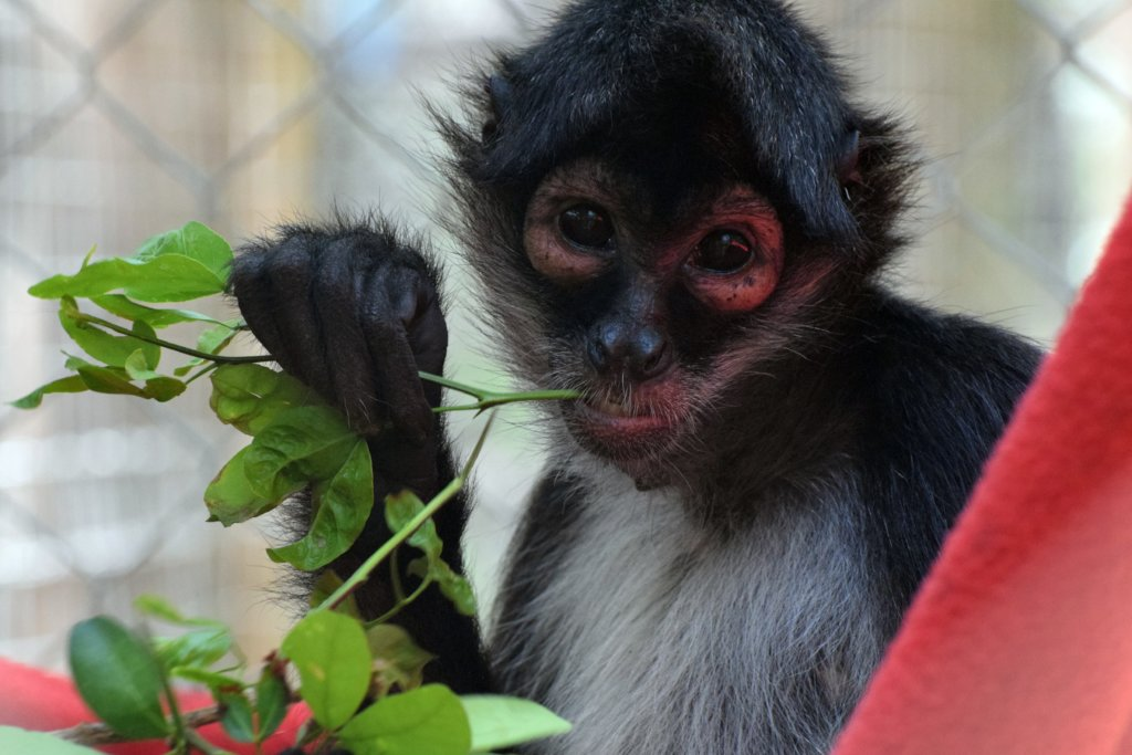 Returning spider monkeys to Belize's forests