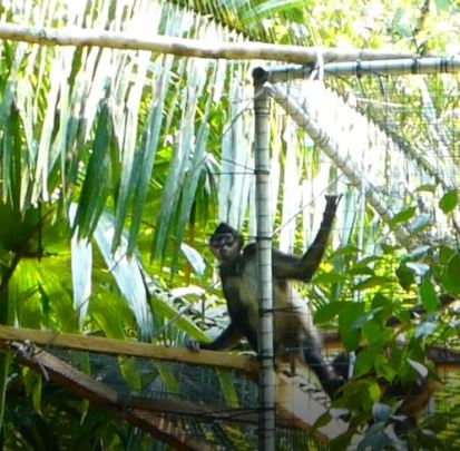 First monkey leaving release enclosure