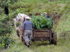 The oxen hauling the seedlings