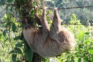 Sloth on the Barbed Wire