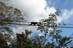 Mantled Howler Monkey on Wire