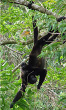 Mother and Baby Mantled Howler Monkeys