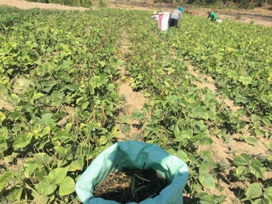 Harvesting of mung bean.