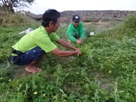 Mr. Avenido in his bitter gourd farmland.