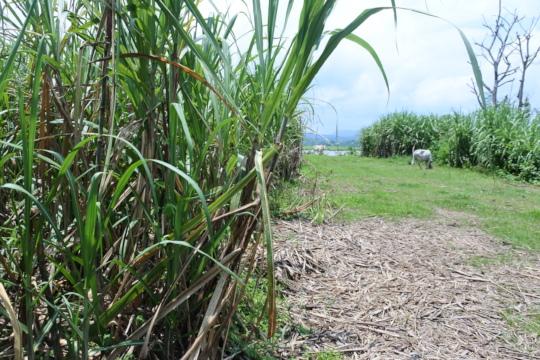 Sugarcane planted in Lagben.