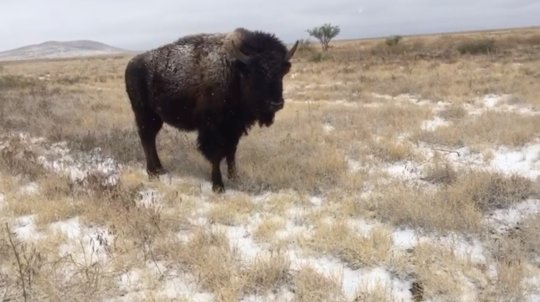 Bison in the snowy grassland of Janos, Chihuahua.