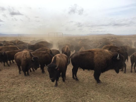 2019 bison roundup