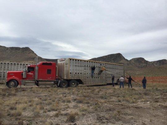 Moving bison around is hard work!