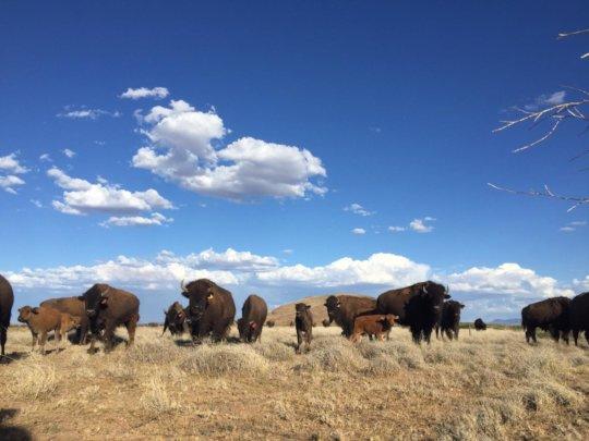 Happy bison!