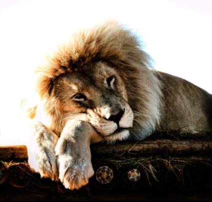Acinonyx, our white lion
