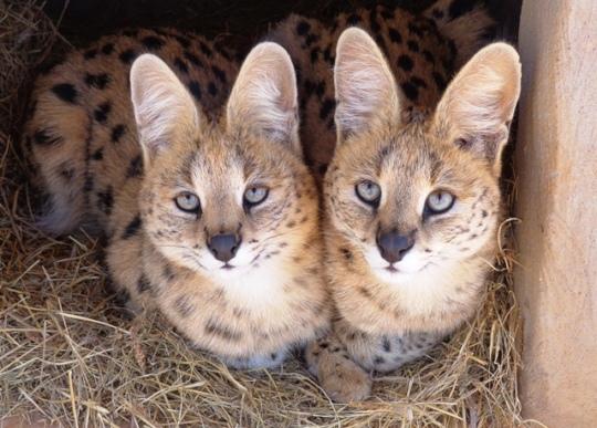 Servals Angie and Allegra