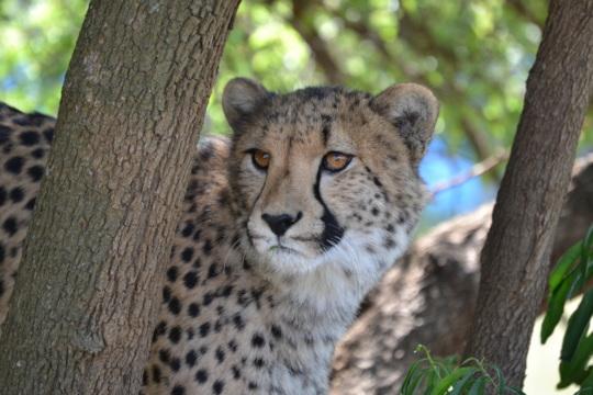 Cheetah Gabriel