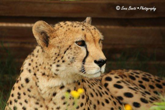 James, our cheetah