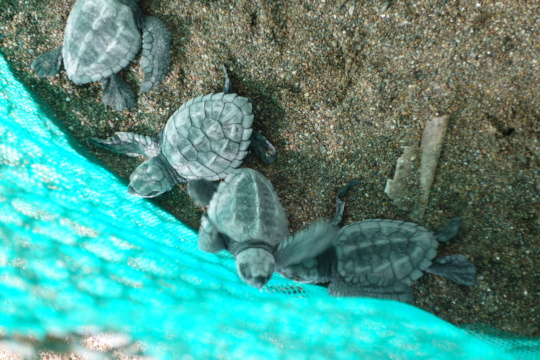 16,000 baby turtles released to the ocean